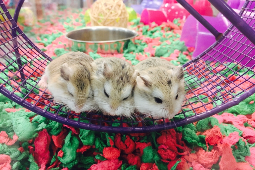 three-hamsters-in-an-exercise-wheel-JSWG95Y